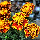 """Bloody Red Marigold  by """" RiSH """""""