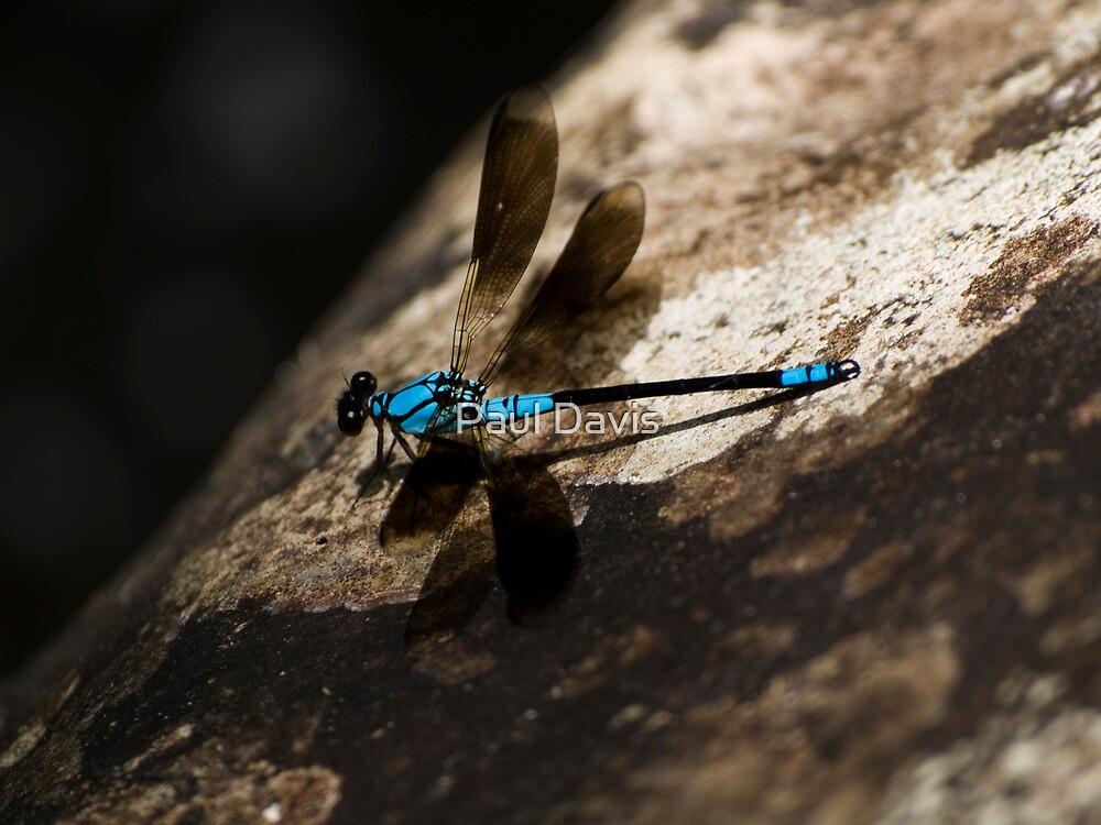 Dragonfly - Crystal Cascades - Cairns - Queensland - Australia by Paul Davis