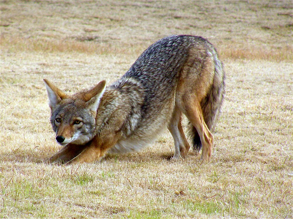 Coyote stretching her legs by Bonnie Pelton