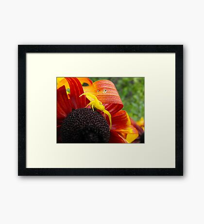 My Friend The Yellow Crab Spider Framed Print