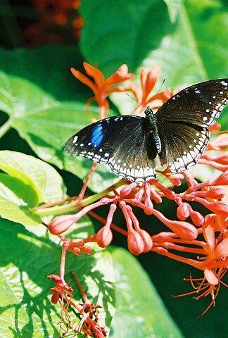 Butterfly solo by hawleydl
