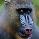 Magnificent Mandrill by ApeArt