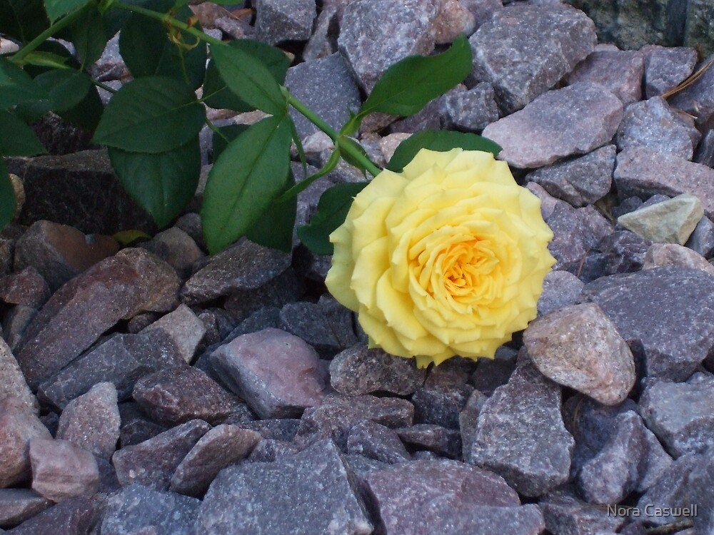 Yellow Rose and Glistening Rocks by Nora Caswell