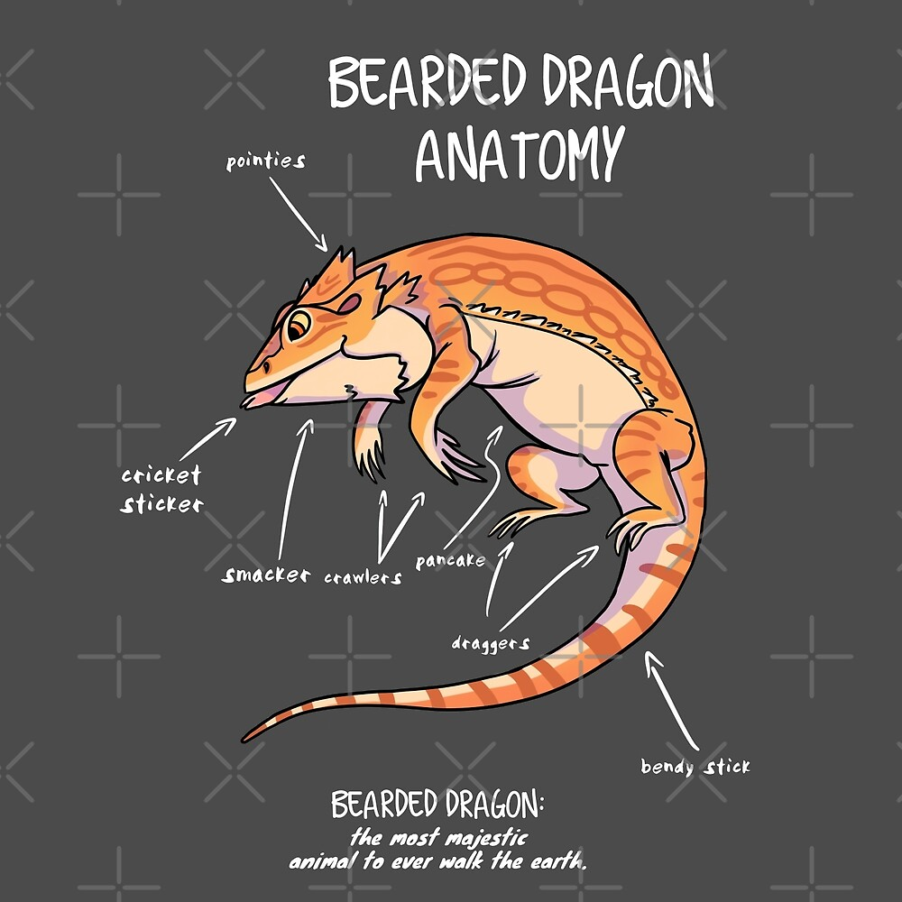 bearded dragon anatomy\