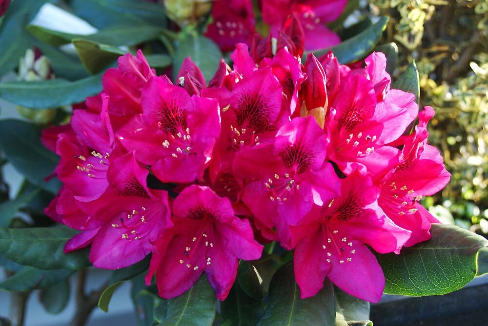 Rhododendron by Cassy Greenawalt