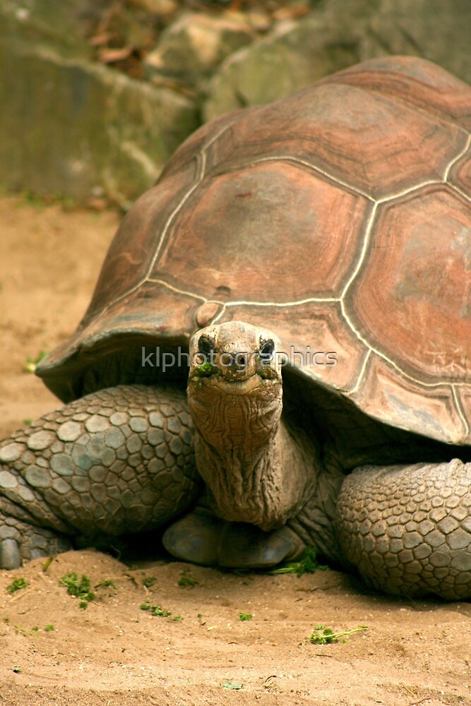 Galapagos Tortoise by klphotographics
