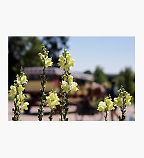 Mackinac Island Horse Drawn Carriage Bokeh and Snap Dragons Photographic Print