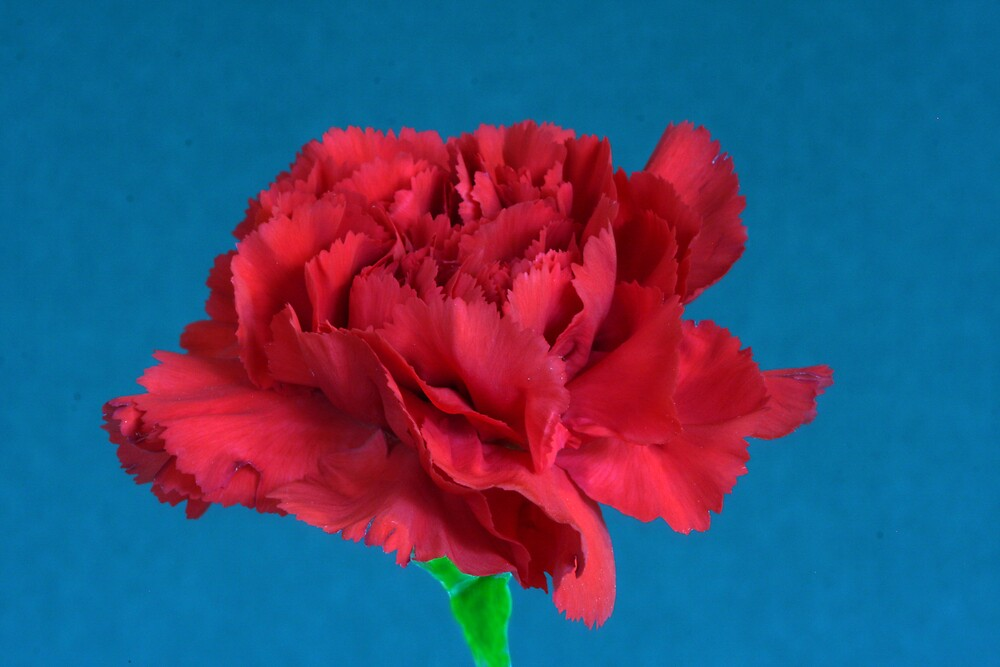 Carnation by noffi