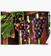 Grape Vine Poster