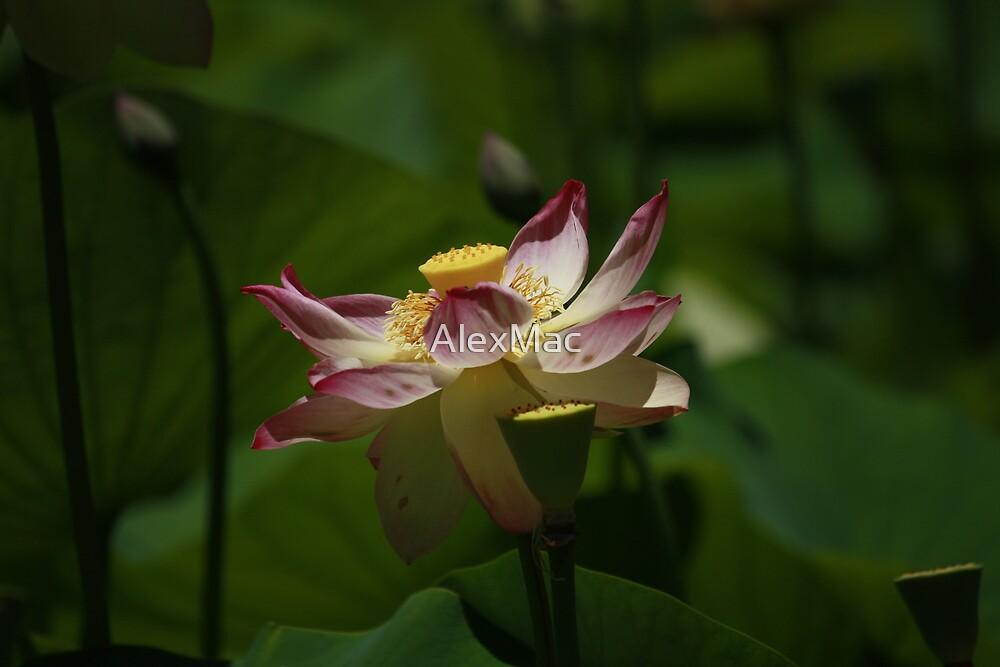 Dreamy Lotus by AlexMac