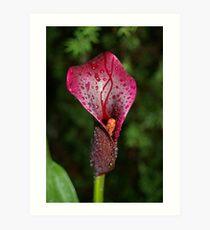 Black Calla Lily Art Print