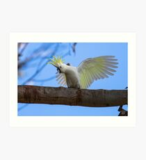 Sulphur Crested Cockatoo with Attitude Art Print
