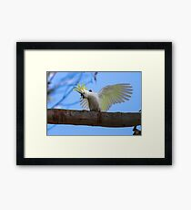 Sulphur Crested Cockatoo with Attitude Framed Print
