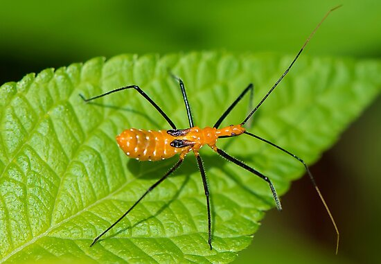 Assassin Bug Up Close by TJ Baccari Photography