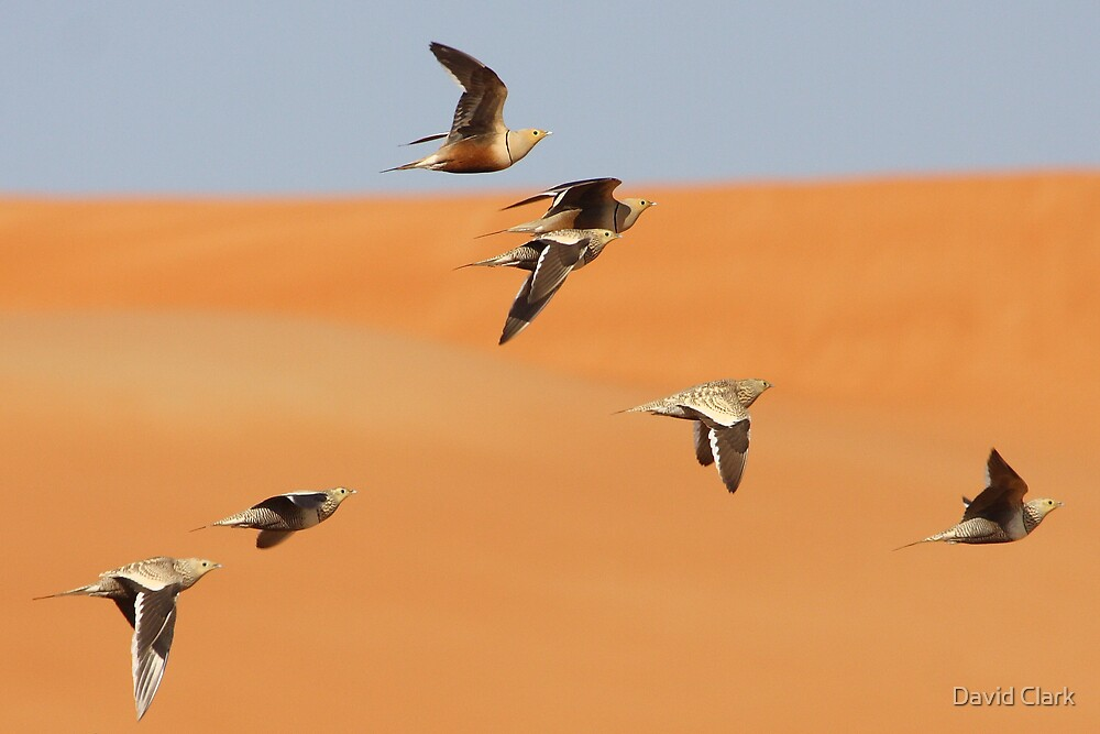 Chestnut-Bellied Sandgrouse by David Clark