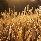 Golden Wheat by Joel McDonald