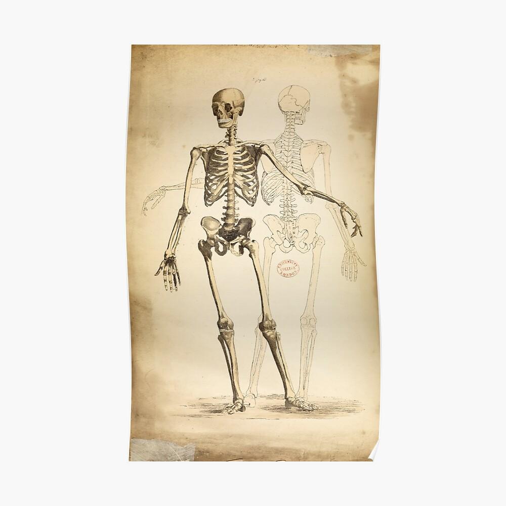 Vintage Illustration des menschlichen Skeletts Poster