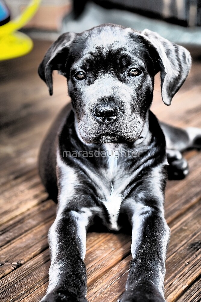 cane corso black puppy laying by marasdaughter