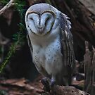 Barn Owl by Tom Newman