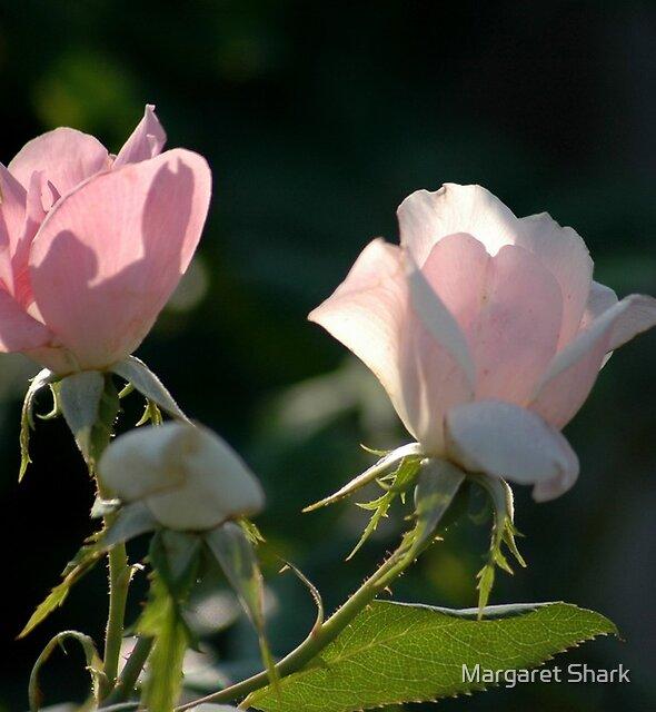 roses by Margaret  Shark