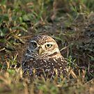 Female Burrowing Owl by Virginia N. Fred