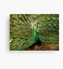Peacock at Melbourne Zoo   Canvas Print