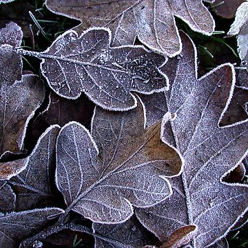 Frozen Leaves by tumbusch