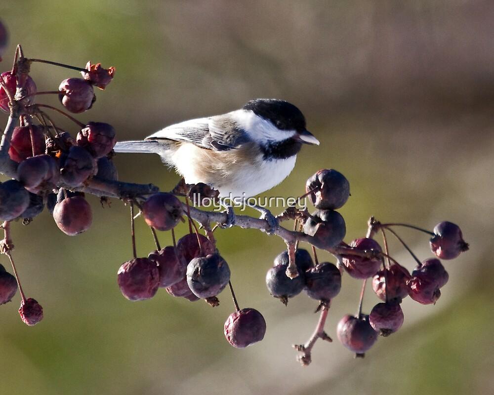 My little chickadee by lloydsjourney