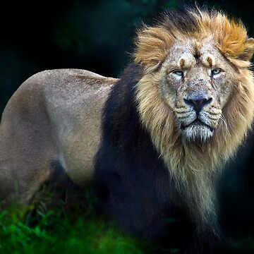 Asian  Male Lion by troutfly