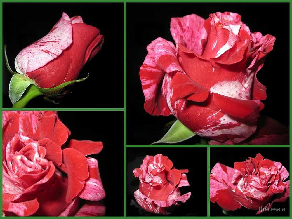 CANDY CANE ROSE COLLAGE by theresa a