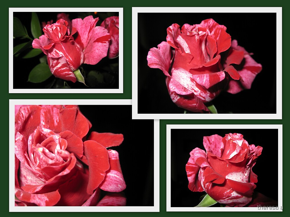 CANDY CANE ROSE COLLAGE 2 by theresa a