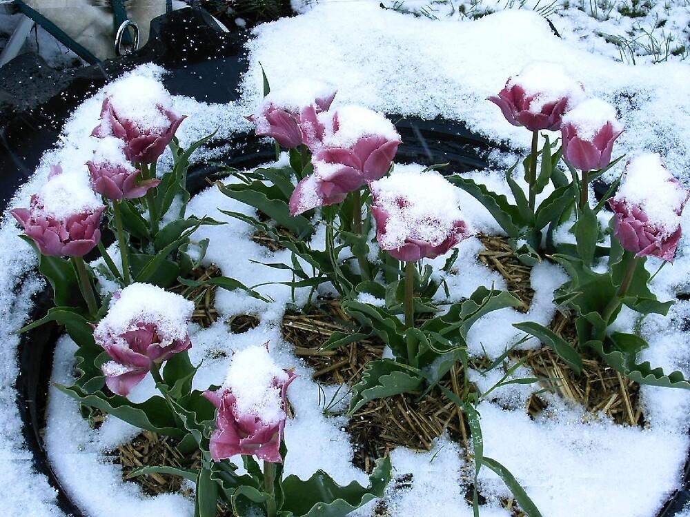 tulip snowcones by boondockMabel