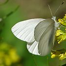 Springtime Fresh White Butterfly by Ron Alcorn