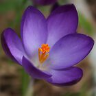 Purple Crocus by AnnDixon