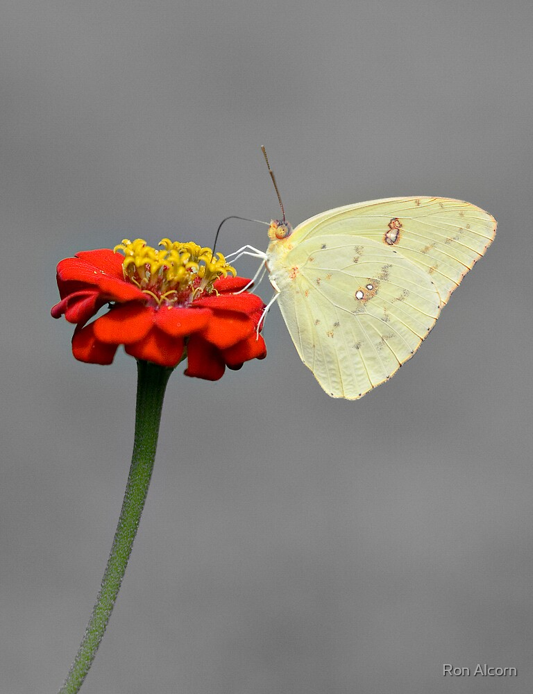Cloudless Sulphur by Ron Alcorn