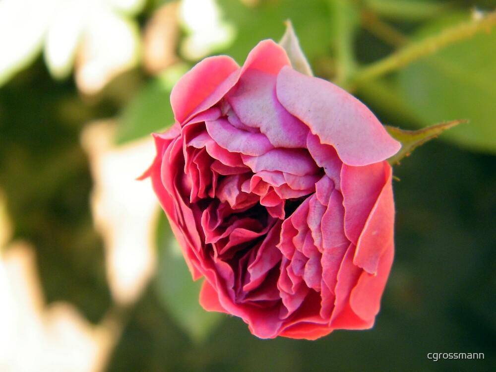 Red Rose by cgrossmann