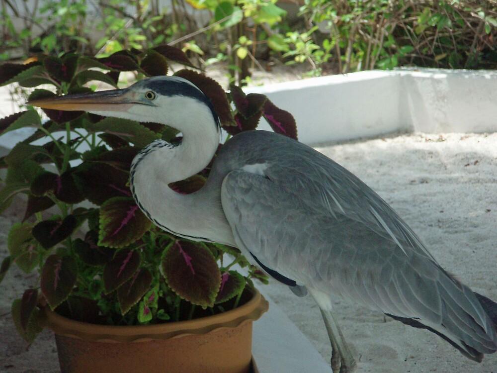 Heron by presbi