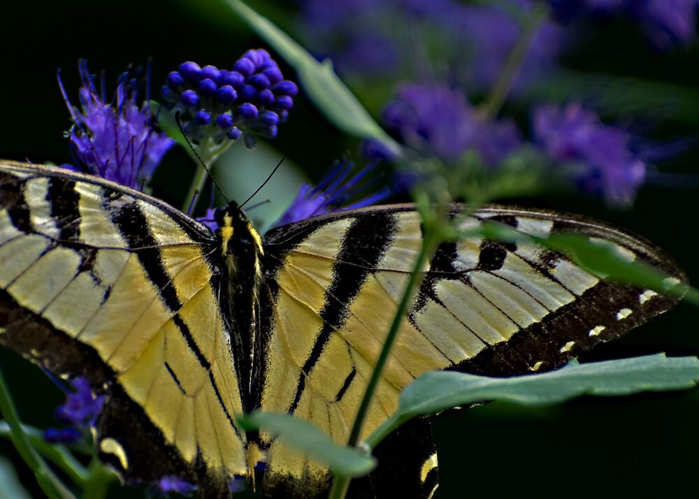 Butterfly by roscoedv