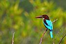 White Breasted Kingfisher - Sri Lanka by David Clark