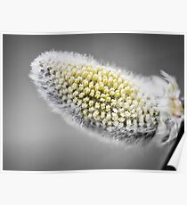 Pussy-willow - willow - Salix Poster