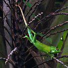Green Forest Lizard - Sri Lanka by David Clark