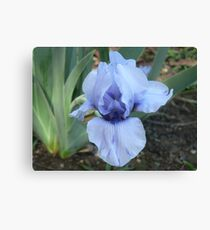 "Median Iris - ""Blackbeard"" Canvas Print"