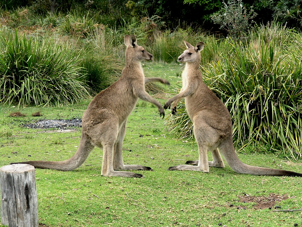 Roos about to challenge each other by garryr
