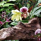 Garden of Paphiopedium Orchids by Hope Ledebur