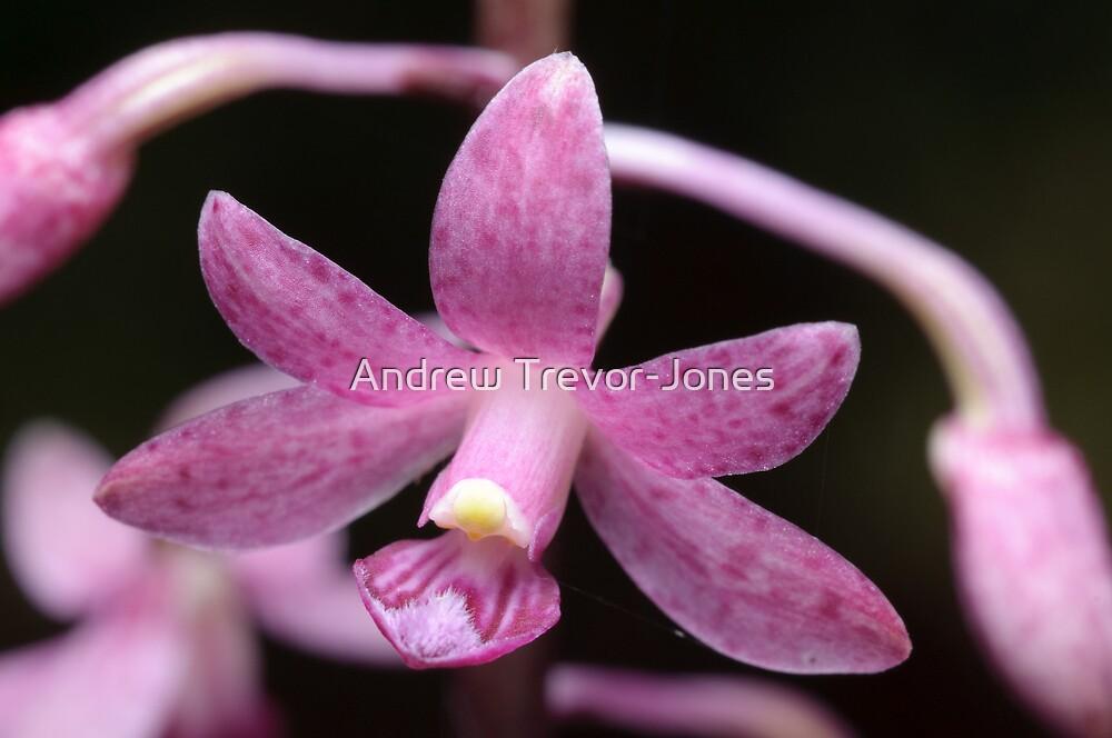Native Orchid by Andrew Trevor-Jones