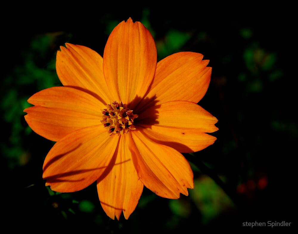 Orange Flower by stephen Spindler