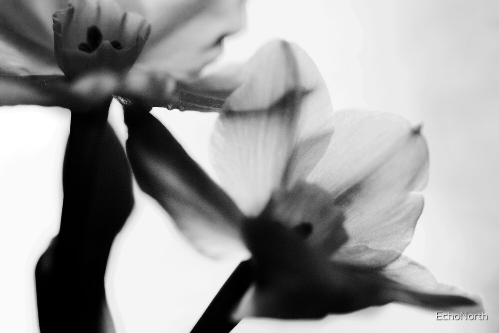 Twin Narcissus by EchoNorth