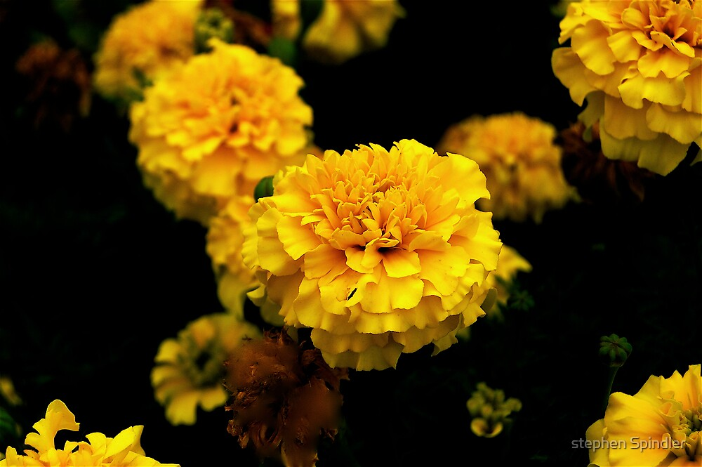 Yellow Flower Four by stephen Spindler