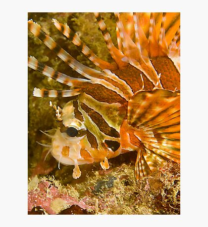 Lionfish Photographic Print