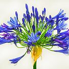 Agapanthus by Heather Friedman